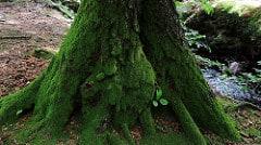 träd med grön mossa