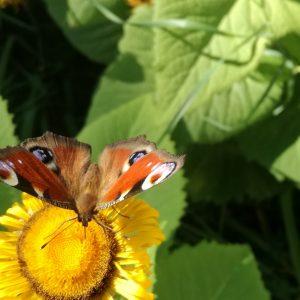 En fjäril suger nektar från en blomma